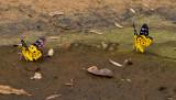 Yellow leopard moths, Dysphania militaris