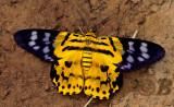 Yellow leopard moth, Dysphania militaris