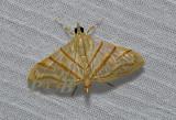 Pagyda salvalis (Crambidae)