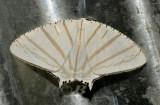 Eurapteroides astheniata