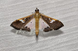 Maruca vitrata (Crambidae)