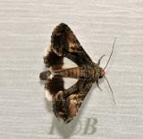 Aedia acronyctoides (Catocalinae)