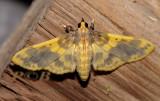 Pachinoa Thoosalis (Crambidae)