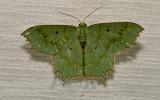 Moth 40