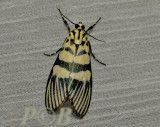 Heortia vitessoides (Crambidae)