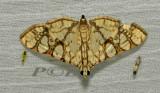 Glyphodes caesalis  (Crambidae)