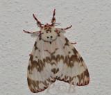 Moth 50