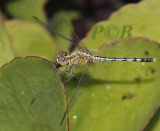 Diplacodes trivialis, immature female