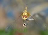 Trithemis aurora, female