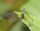 Tetrathemis platyptera male, Uttaradit
