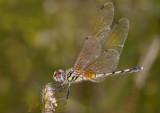 Trithemis pallidinervis
