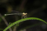 Copera vittata ssp. vittata, female