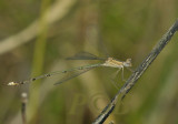 Lestes elatus, female