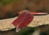 Neurothemis fulvia, male