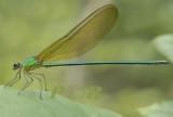 Vestalis gracilis