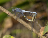 Orthetrum glaucum, mating