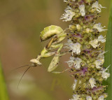 Flower mantis nimph, Creobroter pictipennis