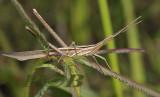 Grasshopper, Acrida willemsei