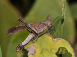 Grasshopper, Erianthes sp.