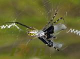 Spider, Argiope aetherea