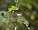 Spider, Argiope versicolor