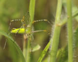 Spider, Peucetia sp.