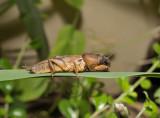 Veenmol, mole cricket, Gryllotalpa gryllotalpa
