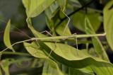 walkingstick, Lopaphus sp. female