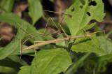 walkingstick,  Clonaria sp. couple