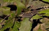 Agama, Acanthosaura lepidogaster