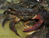 Ricefield crab