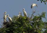Asian openbill stork ( Indische gaper )