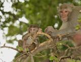 Macaca fasciularis