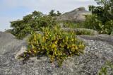 Epigeneium amplum, habitat, 1500 mtr.