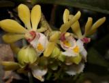 Gastrochilus obliguus, flowers 3 cm