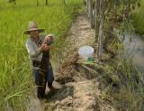 Ricefield fishtrap