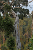 Killer tree, Ficus benghalensis