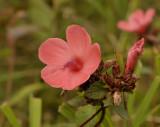Wild hybiscus sp.