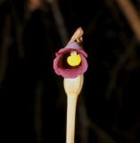 Orobanche uniflora ssp.