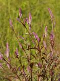 Wildflower, Celosia cristata