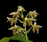 Dendrobium polysema var. macrophyllum