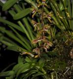 Cymbidium findlaysonianum