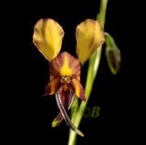 Terrestrial tropical orchids - tropische aardorchideeën