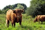 Highlander crossbreed ( dangerous )