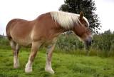 Trekpaard merrie