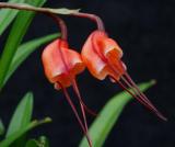 Dracula sodiroi; flower 1 cm