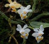 Phalaenopsis gibbosa, Flower 8 mm