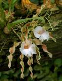 Trichopilia tortilis, Mexico   flower 12 cm