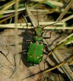 Cicindela campestris    ( groene zandloopkever )