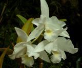 Cattleya  skinnerii  albescens